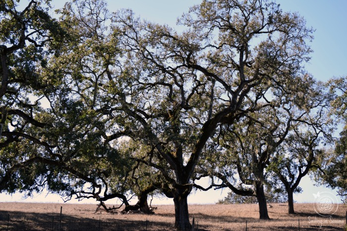 oak trees spread throughout the park
