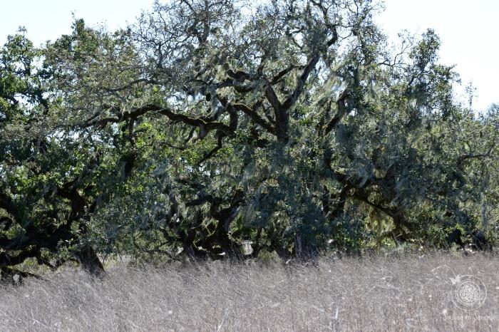 Spooky Oak!