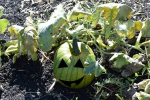 Happy pumpkin he wasn't picked yet