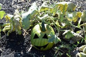 Happy pumpkin he wasn't picked yet